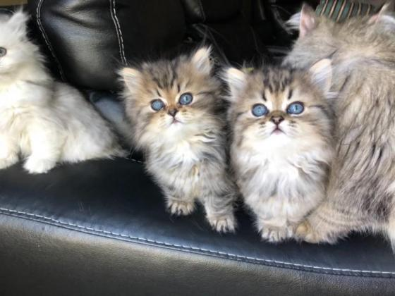Registered Gorgeous, Stunning Persian kittens