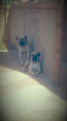 Boerboel puppy for sale