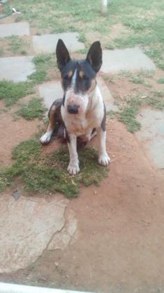 Bull terrier puppies 4 sale
