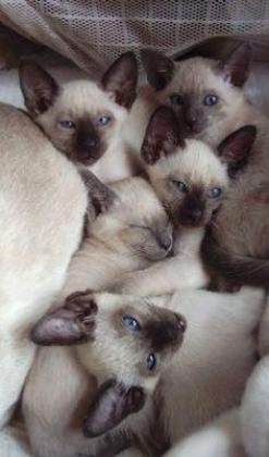 Registered Stunning Show Quality Siamese kittens