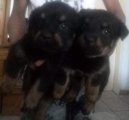 Crossed Rottie & Sheppard Puppies for sale.