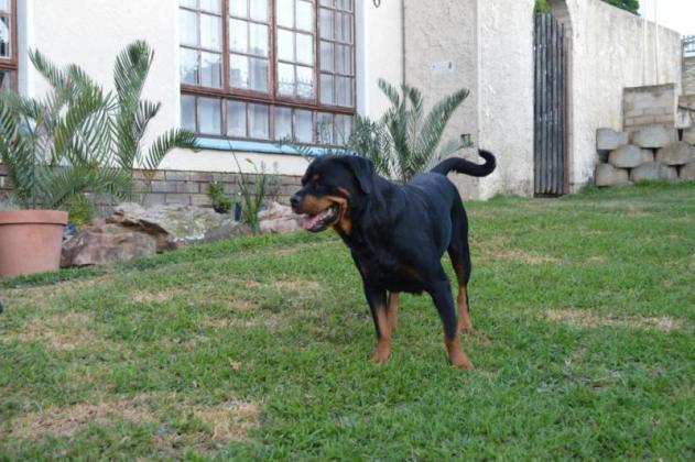 KUSA Registered Rottweiler pups