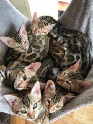 Outstanding Brown Spotted Registered Bengal Kittens