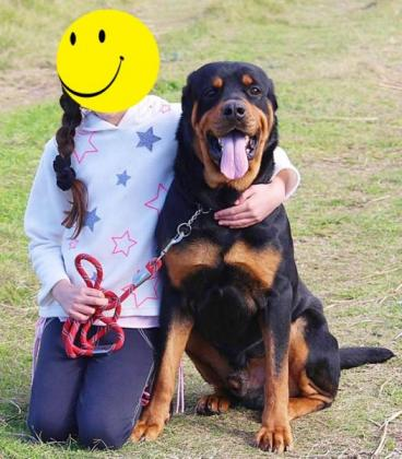 Rottweiler Male (3 Years Old) Needs Loving Home