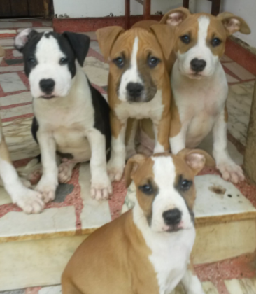 American Staffordshire terrier. Amstaff puppies
