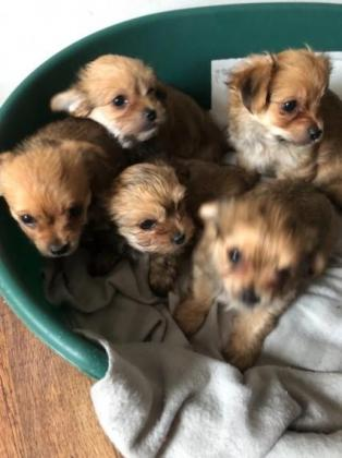 Lovely Baby Chihuahua puppies for sale