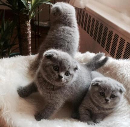 Scottish Fold kittens are available now.