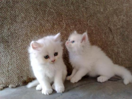 Adorable white Persian Kittens Looking For New Homes.
