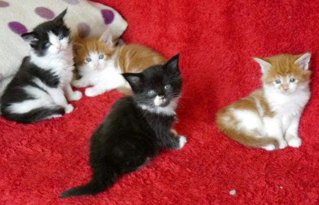 Gorgeous Baby Maine Coon Kittens Available!
