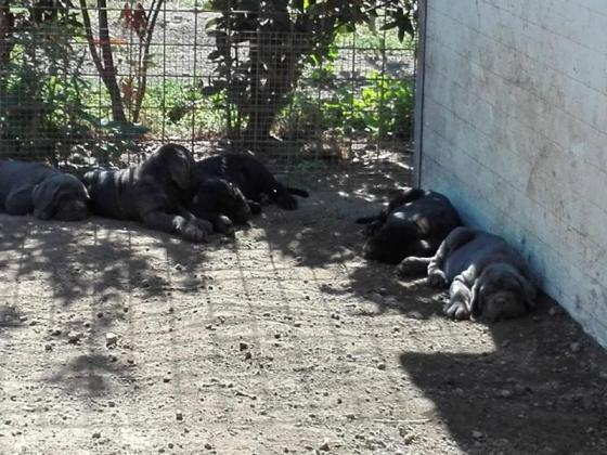 Neapolitan Mastiff puppies for sale