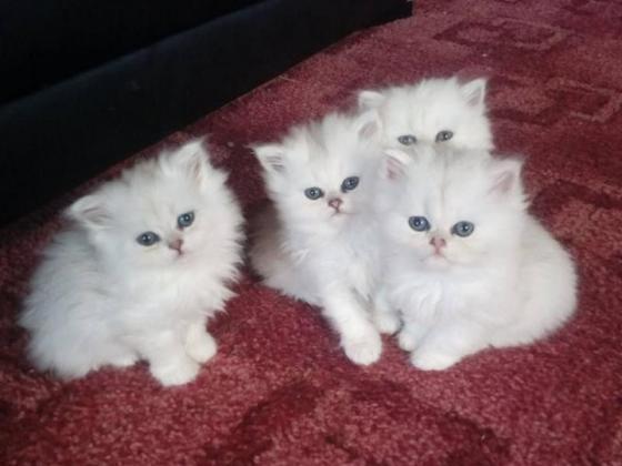 Amazing Quality Persian Kittens