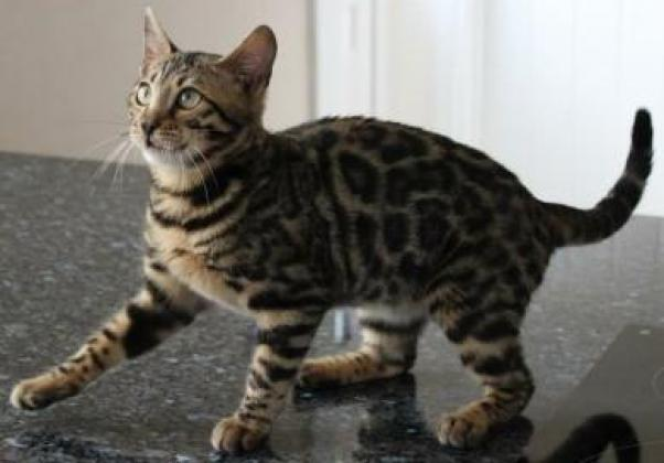 Beautifully marked spotted Bengal kittens for sale .