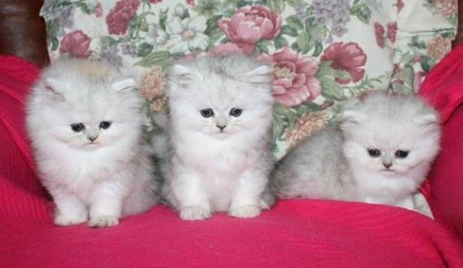 Active And Fluffy Open Faced Persian Kittens