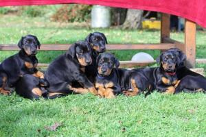 Fantastically Bred Doberman Puppies with champions on both sides