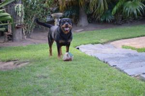 KUSA Registered Rottweiler pups