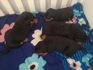 Rottweiler pupps
