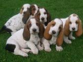 Pedigree Basset Hound Puppies for sale