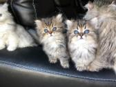 Registered Gorgeous, Stunning Persian kittens