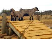 Dwarf goat kids
