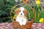 Precious Pedigree Cavalier King Charles Spaniel Puppy