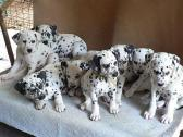 Adorable Dalmatian  Puppies For Sale