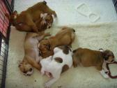 Active English Bulldog Puppies For Sale.
