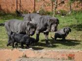 Kubrat Neapolitan Mastiff
