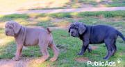 Purebred Neapolitan Mastiff Puppies