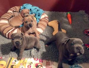 Staffordshire Bull Terrier Puppies.