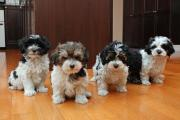 Beautiful Havanese Puppies Available.