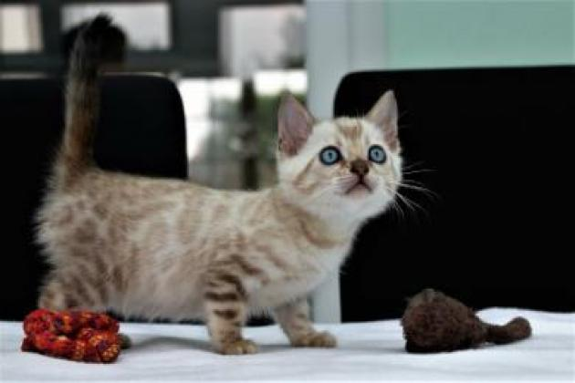 Stunning And Active Bengal Kittens!!