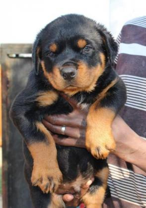 KUSA Rottweiler Puppies, large body and heads, Hip dysplasia free