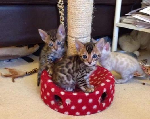 Snow Lynx And Brown Rosetted Male and Female Bengal kittens.