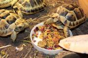 Baby And Adults Hermann & Other Tortoises For Sale