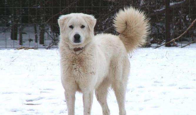Akbash Dog Breed
