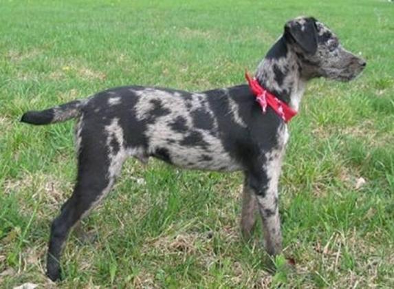 Atlas Terrier