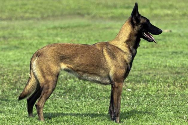 Belgian Shepherd Malinois Dog Breed