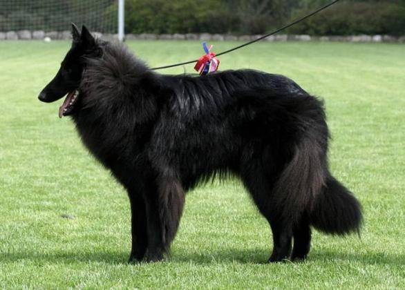 Belgian Groenendael Dog Breed
