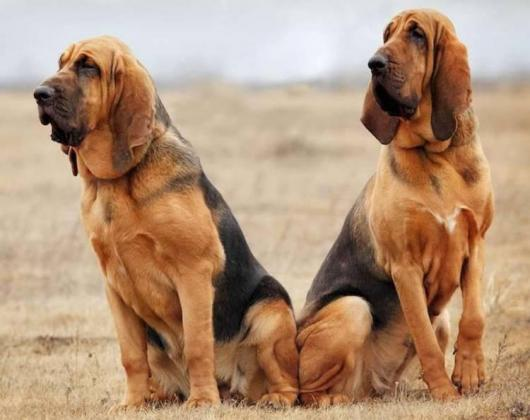 Bloodhound Dog Breed