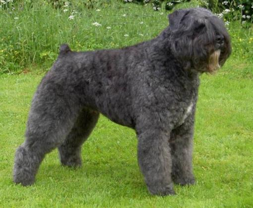 Bouvier des Flandres Dog Breed