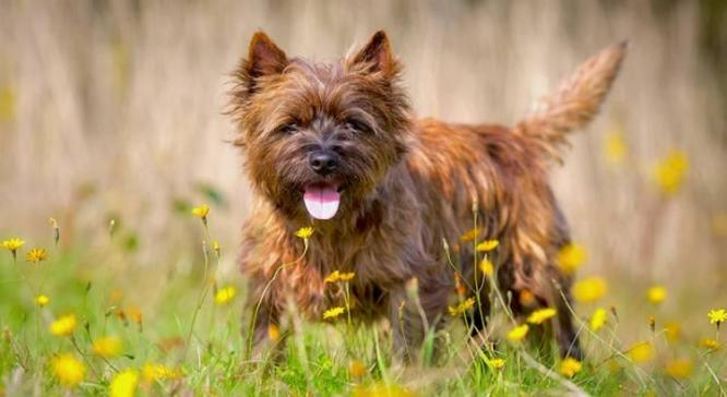 Cairn Terrier Dog Breed
