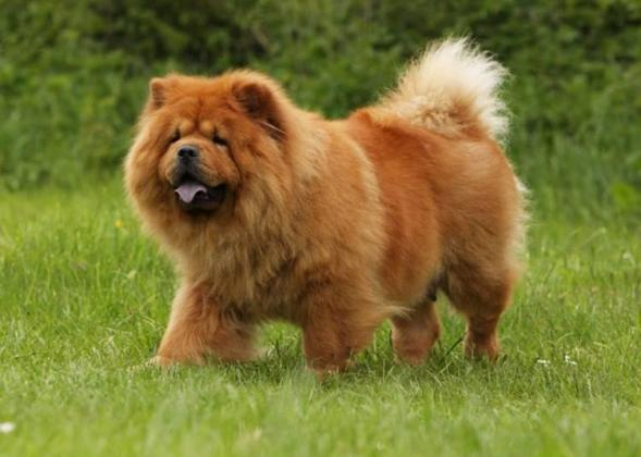 Chow Chow Dog Breed