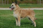 Belgian Shepherd Dog (Laekenois)