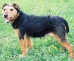 Belgrade Terrier