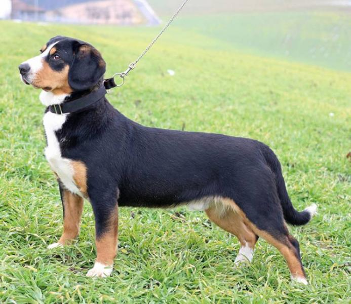Appenzell Mountain Dog South Africa Dbg Appenzell