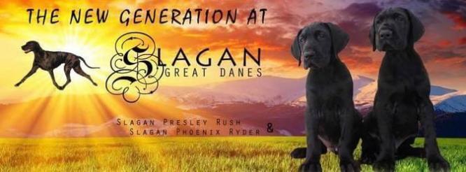 Slagan Great Danes