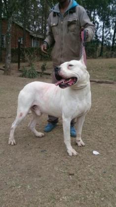 Alfonsia Dogo Argentino