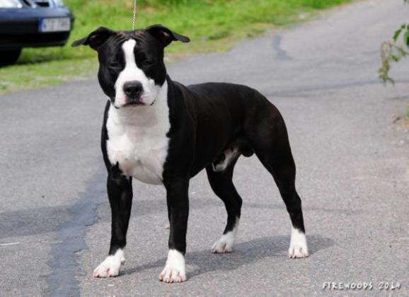 Aztrazar American Staffordshire Terriers