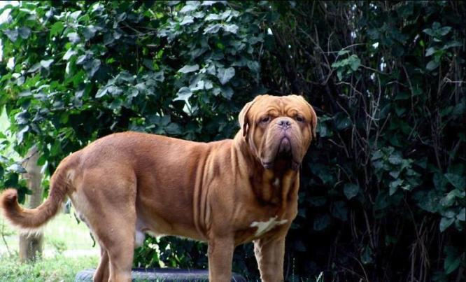 Blue Diamond Dogue de Bordeaux