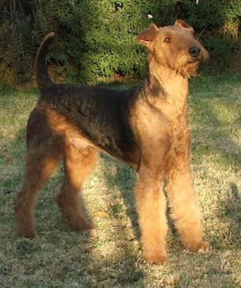 Buxton Airedale Terriers